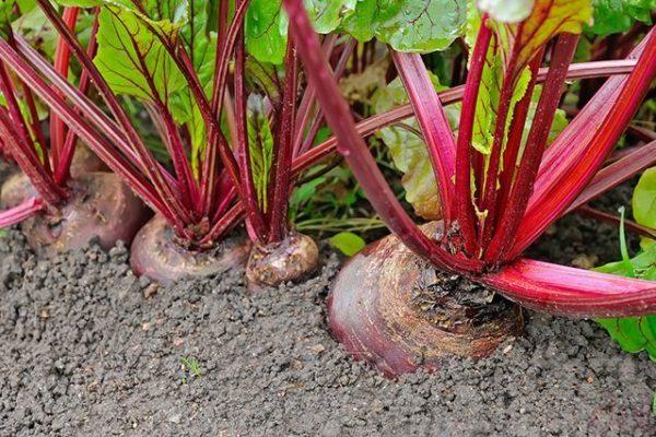 Tidak dianjurkan untuk menanam lobak merah selepas bit