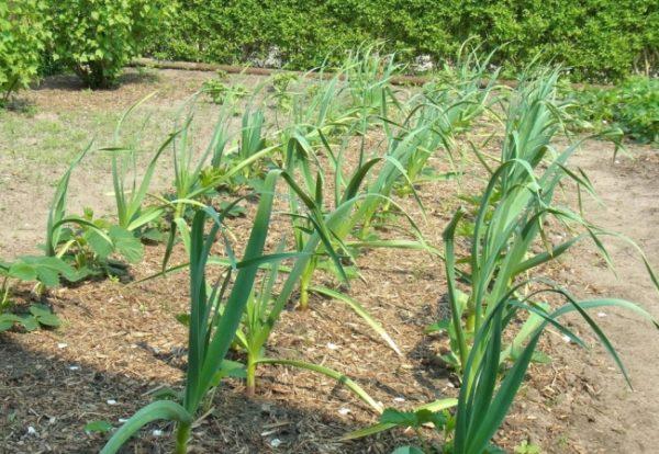 Selepas bawang putih, timun ditanam tahun depan